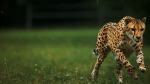 GPS tracking cheetah