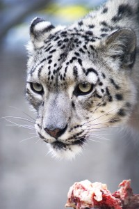 gps tracking snow leopard